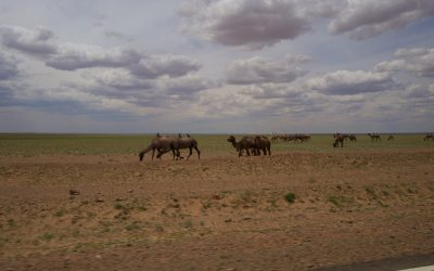 Day 3: Bactrian camels